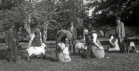 Shearing Sheep, Clonbrock
