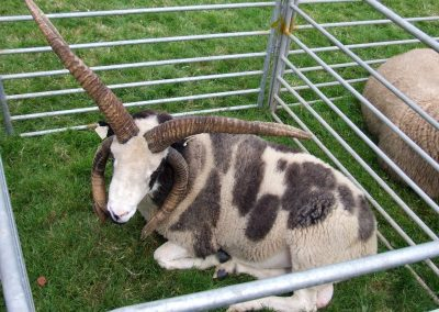 Monivea Fair Sheep